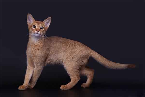 Особенности поведения и характер абиссинской кошки