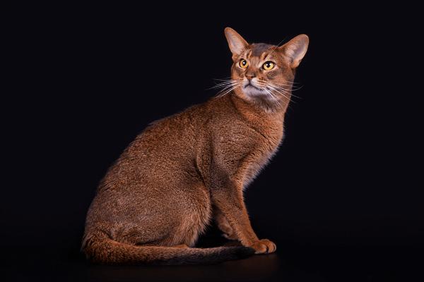 Абиссинская кошка — описание породы