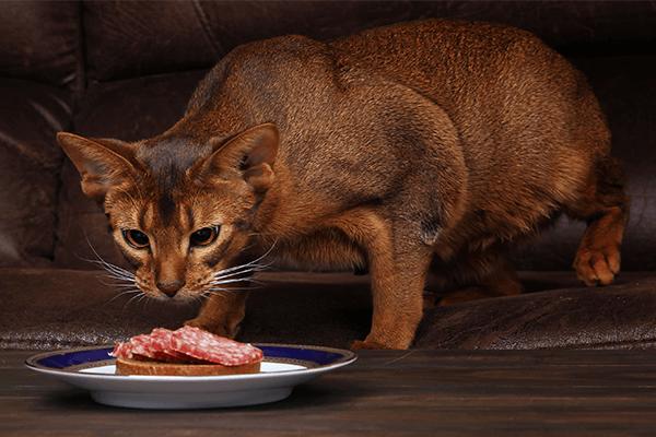 Абиссинский кот ест мясо