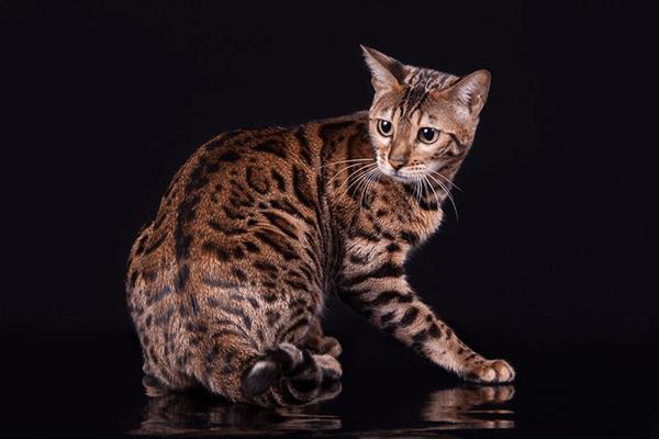 Бенгальские кошки — описание породы