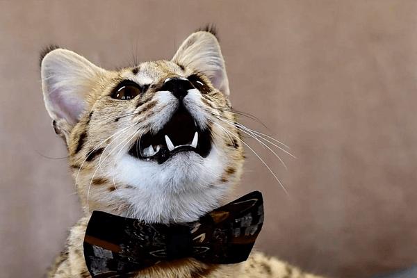 Гибридная кошка