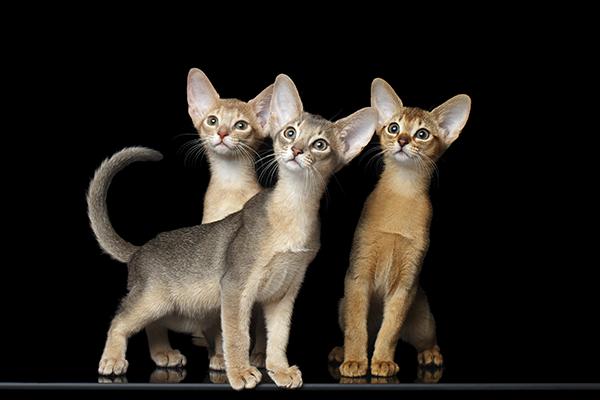 Какого окраса купить абиссинского котенка?